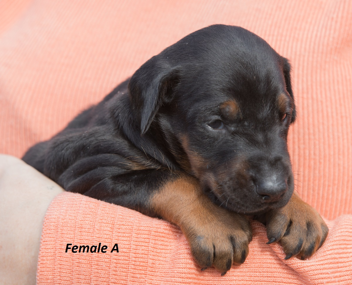 Dobermann puppy: Female 'A' iz Korolevstva D'Allba = Troy del Nasi x Sharon iz Korolevstva D'Allba